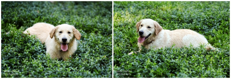 golden retriever portraits dog pet pictures photography charlottesville ednam boars head inn american english cream classic