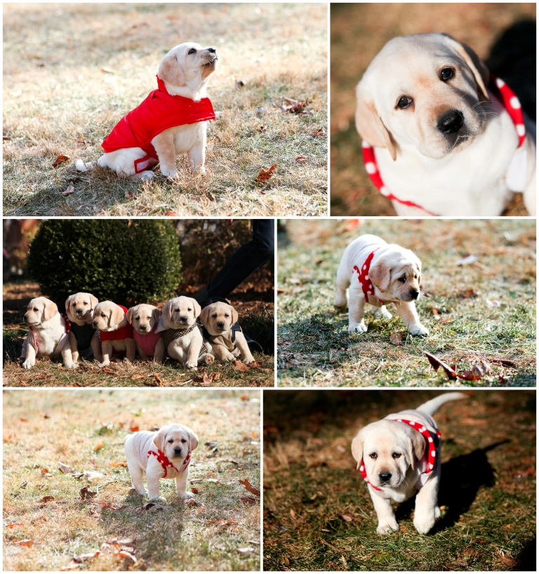 Charlottesville Virginia puppy labrador retriever yellow dog breeder vet winter jacket coat sweater portraits photographer