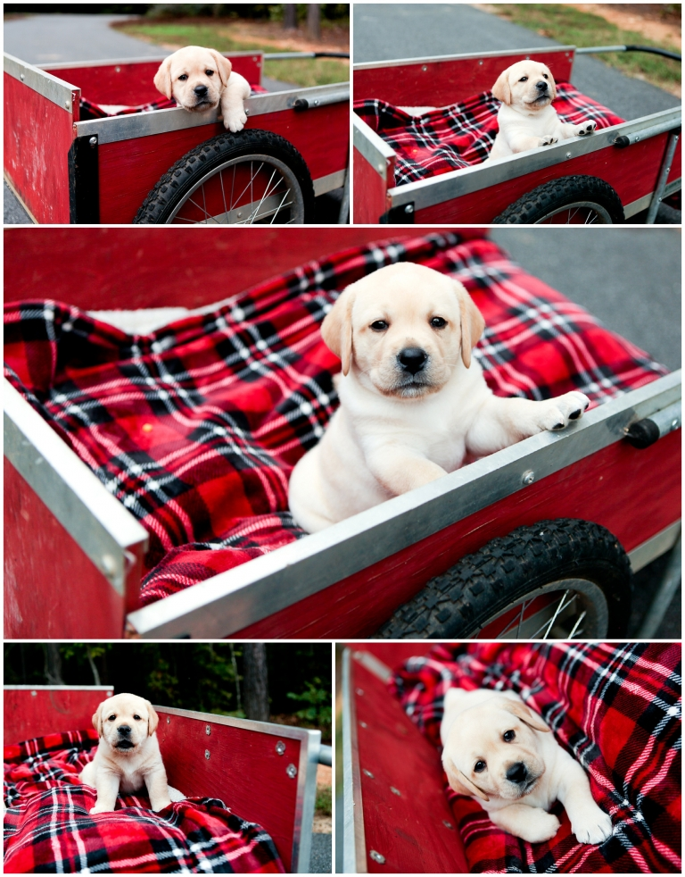 puppy pet portrait photographer commercial photography dog breeder kennel puppies yellow lab pictures fluvanna palmyra charlottesville